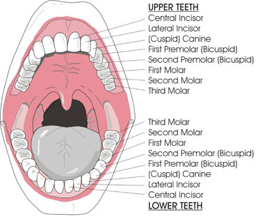 Tooth and mouth illustrations ccuart Choice Image